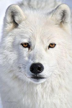 Arctic wolf in Quebec, Canada