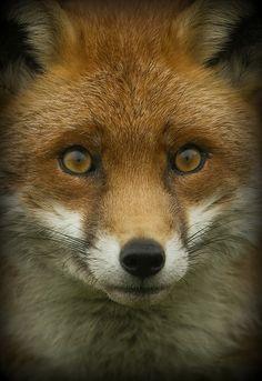 ~~Fox Portrait by wendysalisbury~~