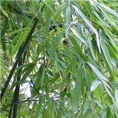 """Phyllostachys aurea – Golden Bamboo Green culms turn yellow in sunshine and can develop bulbous nodes at the base. Phyllostachys aurea 'Koi' has yellow culms with a green sulcus. tall w/ 1 ½"""" culms. Hardy to 0 degrees f. Bamboo Species, Clumping Bamboo, Golden Bamboo, Shade Tolerant Plants, Plants Online, Fairy Land, Organic Gardening, Garden Plants, Grass"""