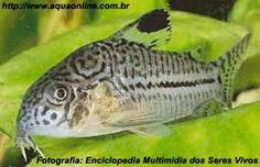 Nome científico:Corydoras julii  Nome popular (BR):Coridora Leopardo