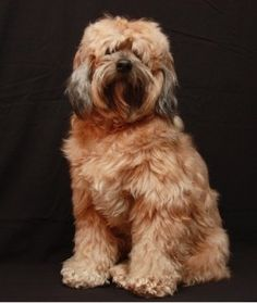 A cute and cuddly tibetan-terrier dog
