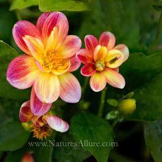 Flower Shadings #NaturesAllure #MichelleWadePhoto #madeinKC  #artskc #KC #KCart #kcartists #igkansascity #kansascity #instakc #capture_kc  #MidwestMoments  #KSartist #instartist #madeinthemiddle #naturephoto #flowers #garden  #nature #flowerstagram #naturephotography #naturelovers #flower #nature_perfection  #JoCoMasterGardeners