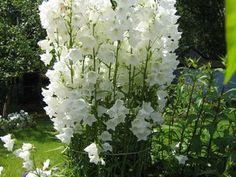 Высокорослые цветы