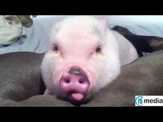 AFV Videos ► Funny Animal Videos ► Cute Pigs Compilation 2015 ► F5 Media - YouTube