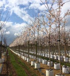 Prunus yedoensis #spring # flower #rows #white #cherry