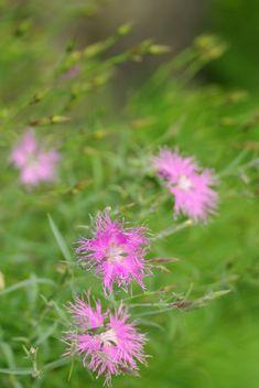 知床 その5     断崖に咲く・・・オロンコ岩の花 : ふつうのコト