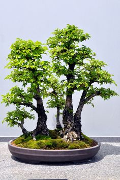 Bonsai | by teohwp85 Garden Terrarium, Bonsai Garden, Garden Plants, Indoor Plants, Bougainvillea Bonsai, Bonsai Plants, Bonsai Trees, Redwood Bonsai, Japanese Bonsai Tree