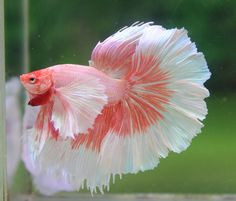 Beautiful Betta.