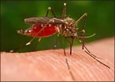 Afectados por Chikungunya hacen remedios caseros para enfrentar virus | AccionMusical