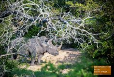 Magnificent Rhino in the Brush - South Africa