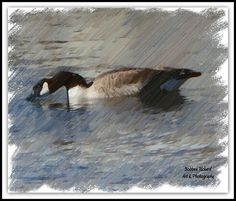Goosey Lucy Digital Oil Photography by Bobbee Rickard. . . over 600 images to choose from: original phtography, digital and graphic art and more. . .click on image, and click again to visit galleries with a variety of thems. . .