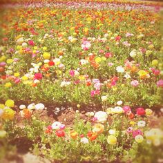 The Flower Fields - a field of colour.