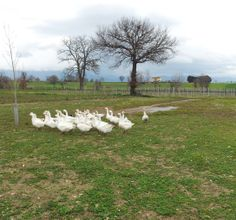 Geese close to Montefalco