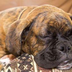 Eliminate Over 30+ Common Behavioral Boxer Issues - boxer dog #boxerdog