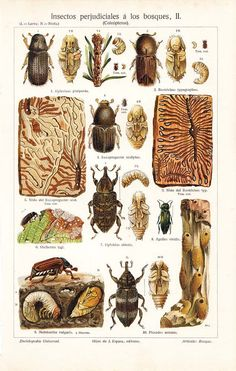 Beetles Antique Chromolithograph Coleoptera Harmful Insects