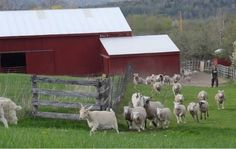 Happy Rescued Farm Animals Run To Pasture for the First Time! The Ending Is Too Adorable