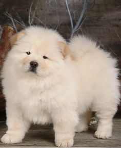 "Chow Chow  The Chow Chow is a type of dog breed originally from China, where it is referred to as Songshi Quan, which means ""puffy-lion dog"". $3,000 – $8,500 ,from Iryna"