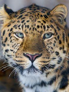 A portrait of a cute Amur leopard (by Tambako the Jaguar)