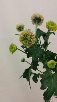 Krysantemum - Chrysanthemum Chrysanthemums, Plants, Image, Chrysanthemum, Plant, Planets