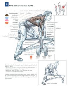 Training Anatomy - Back - One-Arm Dumbbell Rows Aerobics Workout, Gym Workout Tips, Dumbbell Workout, Workout Challenge, Fitness Gym, Planet Fitness Workout, Muscle Fitness, Anatomy Back, Muscle Anatomy