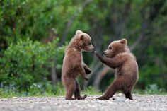 two bear cubs practicing their karate