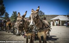 There's more to Karoo donkeys than a couple of hee-haws and a pair of twitching ears. Hee Haw, My Heritage, Donkeys, Continents, Farm Animals, African, Horses, Couple, Space