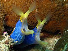 Blue Ribbon Eels  A pair of Blue Ribbon Eels   (Rhinomuraena quaesita)   sharing a lair.   Cannon Reef, Beqa Lagoon, Fiji