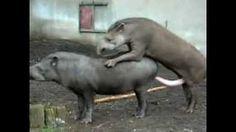 tapirs mating.
