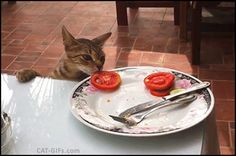 CAT GIF • One more food thief! Funny vegetarian Cat strikes again, stealing a delicious tomato slice