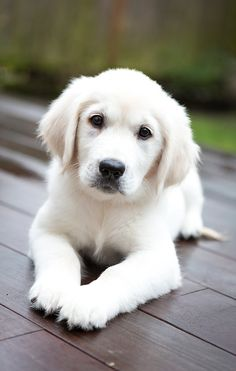 7 Best Animals And Pets Images White Golden Retrievers Pets Animaux