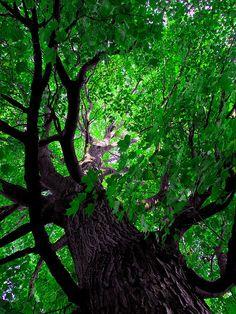 The great old maple tree. www.dogwoodalliance.org