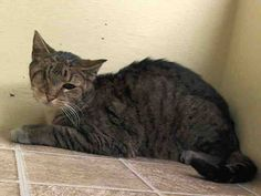 Please!! NYC TO BE DESTROYED May 4`14 My name is ANGELINA. My Animal ID # is A0997250. Angelina is a sweet angel who will fill someone's home with love. Please foster or adopt her tonight 8 YEARS old.STRAY https://www.facebook.com/speakingupforthosewhocant?fref=ts#!/nycurgentcats/photos/a.784554138229242.1073742292.220724831278845/784554194895903/?type=3&theater