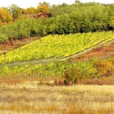 #autumn #vineyard #Tokaj #tokaji #tokajwineregion #tokajwine #tokajhegyalja #visittokaj #colorful #nature #naturelovers #hungary #hungary_gram #ig_magyarország #ig_magyarorszag