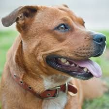 Cattle dogs, Cattle and Staffordshire bull terriers on