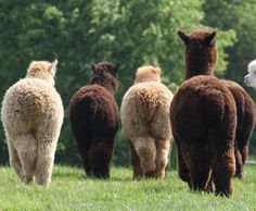 This is probably the weirdest thing that I like. Forgive me but there is nothing in this world more perfect than an alpacas bum. Alpacas, Fluffy Cows, Fluffy Animals, Animal Pictures, Cute Pictures, Cute Alpaca, Tier Fotos, Cute Little Animals, Beautiful Creatures