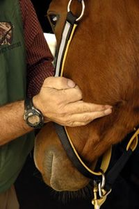 Take Your Horse's Pulse Under His Jaw from Practical Horseman | EquiSearch.com