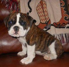 English Bulldog, Olde Puppies