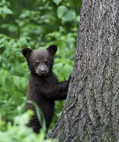 Black Bear Cub, Vince Shute Wildlife Sanctuary near Orr, Minnesota.