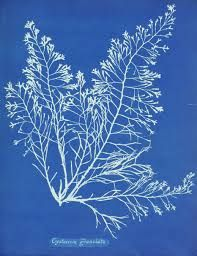 Image result for anna atkins prints