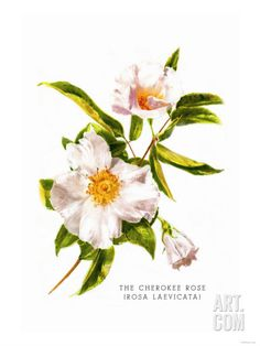 Rose Drawing The Cherokee Rose Art Print - Cherokee Rose, Cherokee Nation, Cherokee History, Painting Prints, Art Prints, Rose Prints, Painting Art, Paintings, Trail Of Tears