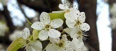 DNR urges homeowners not to plant ornamental pear trees  http://www.wthr.com/article/dnr-urges-homeowners-not-to-plant-ornamental-pear-trees?utm_content=bufferc7d57&utm_medium=social&utm_source=pinterest.com&utm_campaign=buffer