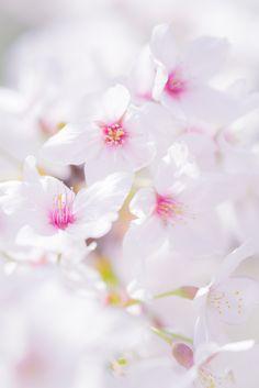 https://flic.kr/p/e8RbWn   Cherry Blossom   DSCF2064-L