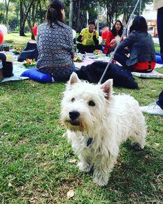 El Hotel Virrey Park es un alojamiento #dogfriendly y así lo demuestra Cobbin este lindo perrito que vino a compartir el #picnic con nosotras #ViveElFdsBogota #colombiaesrealismomagico  www.placeok.com