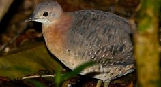 Bartlett's Tinamou - Introduction | Neotropical Birds Online