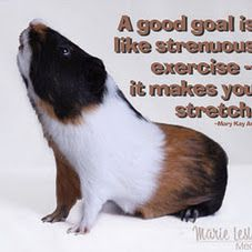 One of our sweet little guinea pigs with a thought to think about.