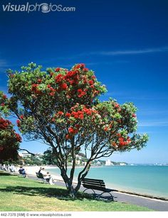 Google Image Result for http://www.visualphotos.com/photo/1x6503547/mission_bay_beach_and_pohutukawa_tree_auckland_north_island_new_zealand_...