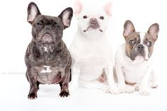 French Bulldog family portrait, too cute Super Furry Animals, Cute Animals, Beautiful Creatures, Animals Beautiful, Doggies, Dogs And Puppies, Triplets, Bullies, Little Dogs