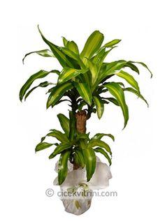 2 'li Massangena çiçek http://www.cicekvitrini.com/cicekler/avcilar-cicek-siparisi