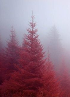 red evergreens