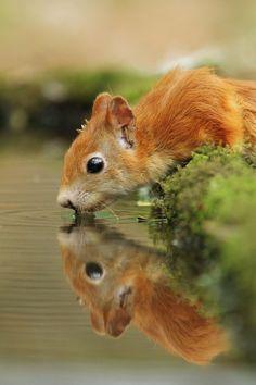 Squirrel found a refreshing drink. #Reflection #Squirrel